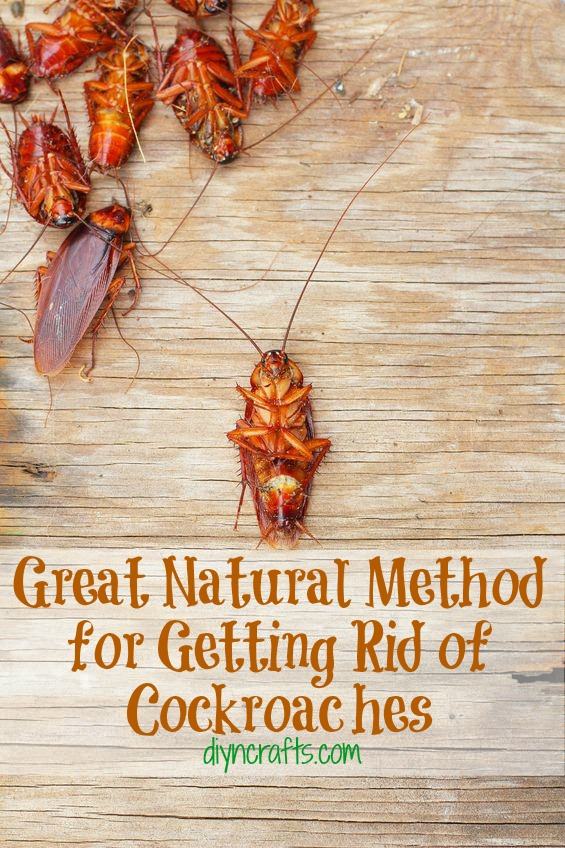 Great Natural Method for Getting Rid of Cockroaches