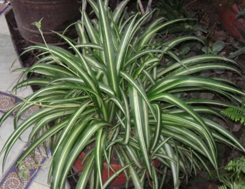 Spider Plant - Top 10 NASA Approved Houseplants for Improving Indoor Air Quality