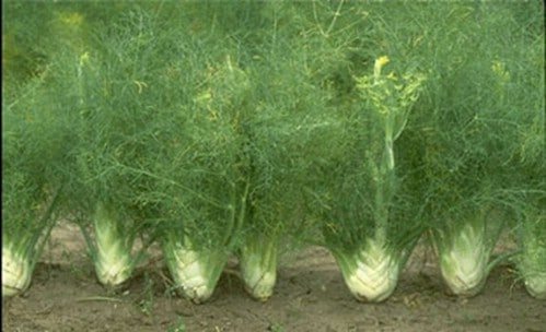 15. Fennel - 25 Foods You Can Re-Grow Yourself from Kitchen Scraps