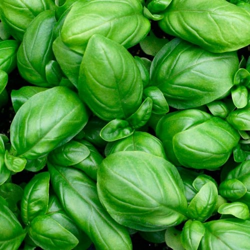 17. Basil - 25 Foods You Can Re-Grow Yourself from Kitchen Scraps