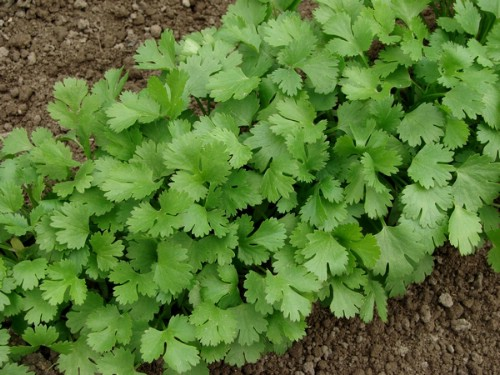 18. Cilantro - 25 Foods You Can Re-Grow Yourself from Kitchen Scraps