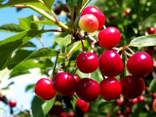 20. Cherries - 25 Foods You Can Re-Grow Yourself from Kitchen Scraps