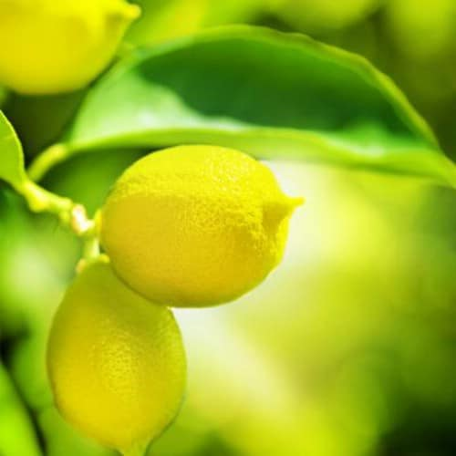 23. Lemons - 25 Foods You Can Re-Grow Yourself from Kitchen Scraps