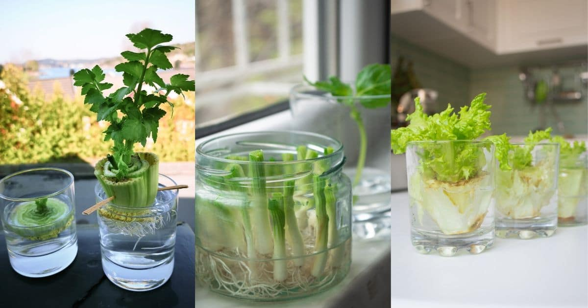 25 Foods You Can Re Grow Yourself From Kitchen Scraps Diy Crafts
