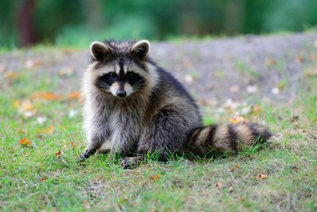Say goodbye to pesky raccoons. - 40 Life-Changing Ways to Use Epsom Salt in Your Everyday Life