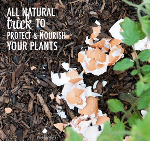 Nourish and protect your plants with eggshells.