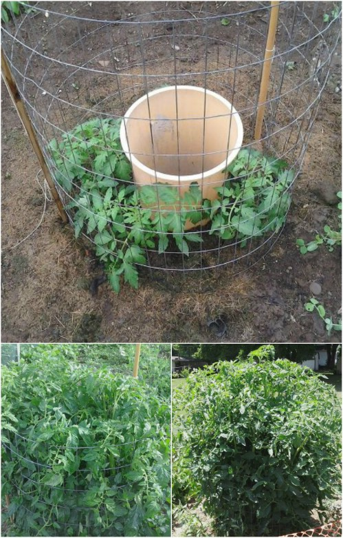Water your tomatoes the right way.
