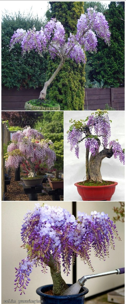 Grow wisteria in a pot.
