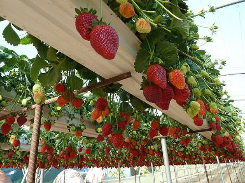Repurpose gutters for strawberries.