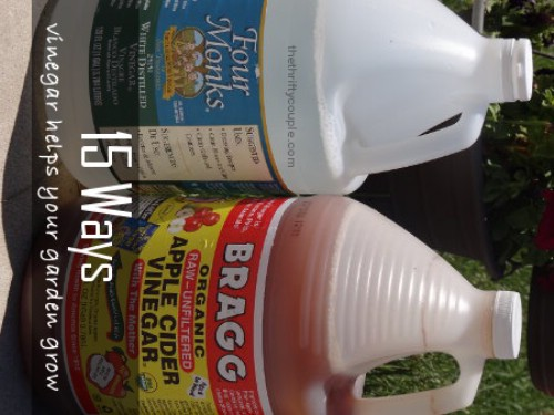 Learn why apple cider vinegar is so awesome to have around in your garden.