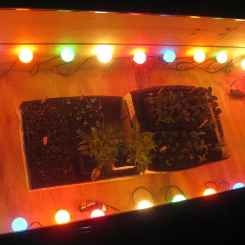 Use holiday lights to keep your seedlings warm.