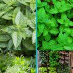 Medicinal Herb Garden Collage