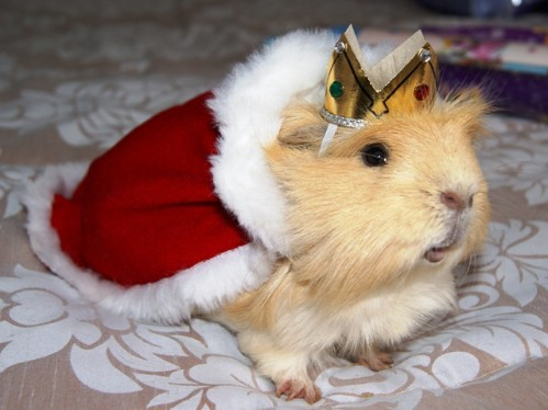 Guinea Pig Royalty