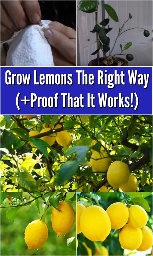 Grow Lemons The Right Way (Proof That It Works!) {Video Demonstration}