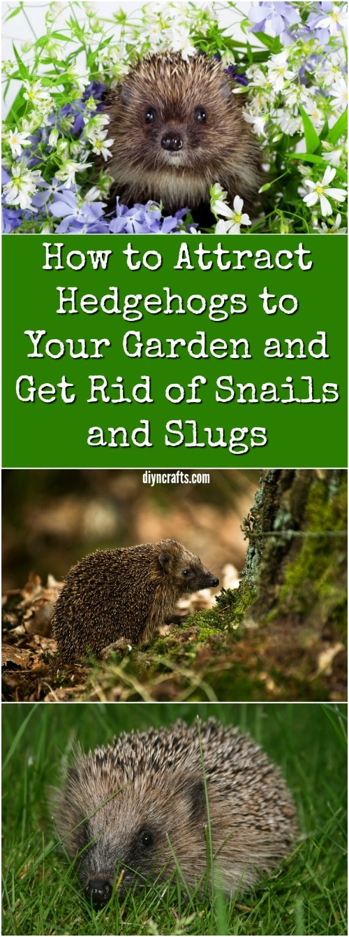 How to Attract Hedgehogs to Your Garden and Get Rid of Snails and Slugs {Video}