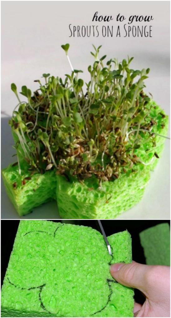 Shamrock Sprouts On A Sponge