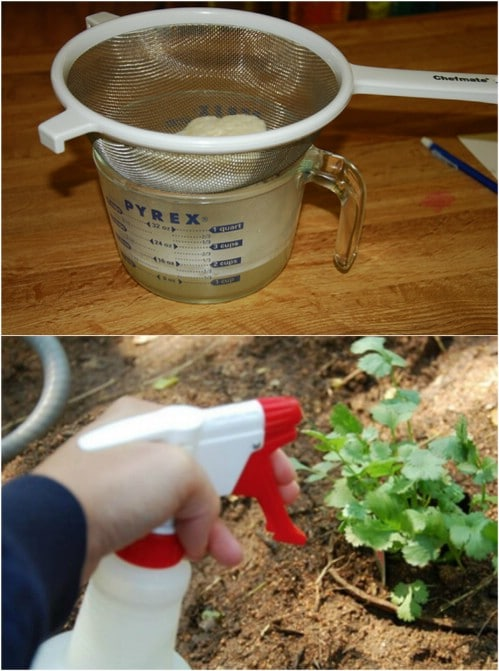 DIY Natural Garlic Pesticide Spray