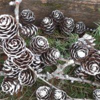 Snowy winter pine cones white pine cones