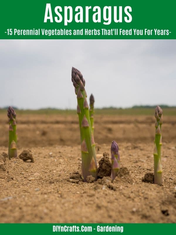 Asparagus perennial vegetable
