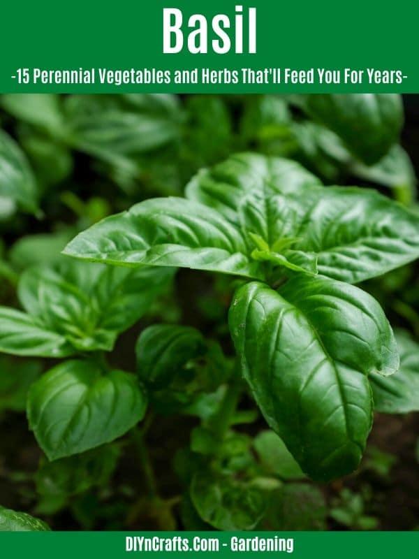 Basil perennial herb