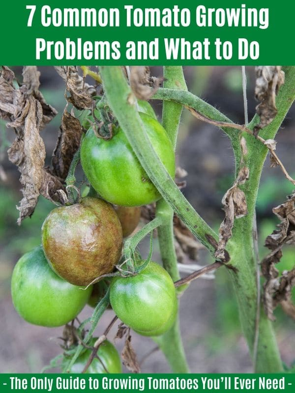 """7 Common Tomato Growing Problems and What to Do:"""" width=""""600"""" height=""""800"""" srcset=""""https://cdn.diyncrafts.com/wp-content/uploads/2020/04/common-tomato-problems.jpg 600w, https://cdn.diyncrafts.com/wp-content/uploads/2020/04/common-tomato-problems-225x300.jpg 225w"""" sizes=""""(max-width: 600px) 100vw, 600px"""