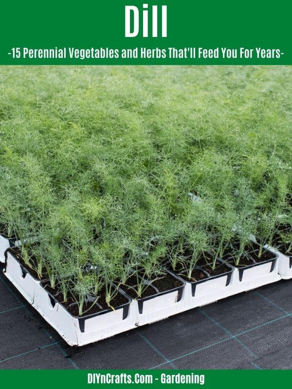 Dill perennial herb