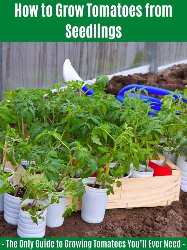 How to Grow Tomatoes from Seedlings: