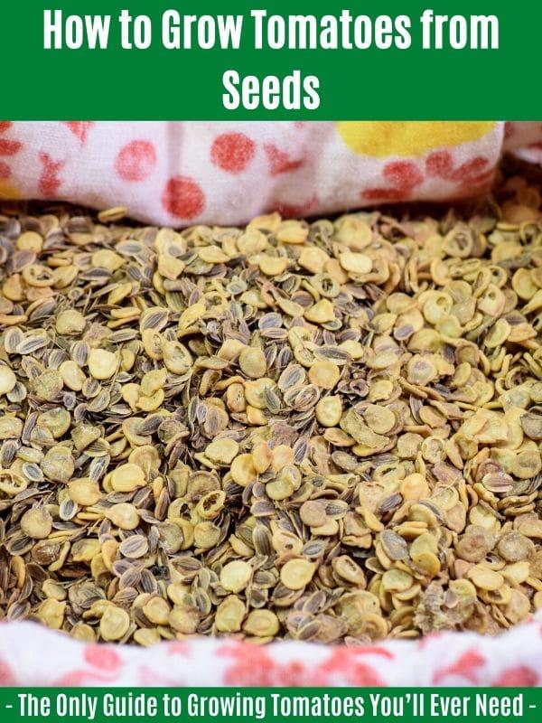 """Comment faire pousser des tomates à partir de graines: """"width ="""" 600 """"height ="""" 800 """"srcset ="""" https://cdn.diyncrafts.com/wp-content/uploads/2020/04/grow-tomatoes-from-seeds.jpg 600w, https://cdn.diyncrafts.com/wp-content/uploads/2020/04/grow-tomatoes-from-seeds-225x300.jpg 225w """"tailles ="""" (largeur max: 600px) 100vw, 600px"""