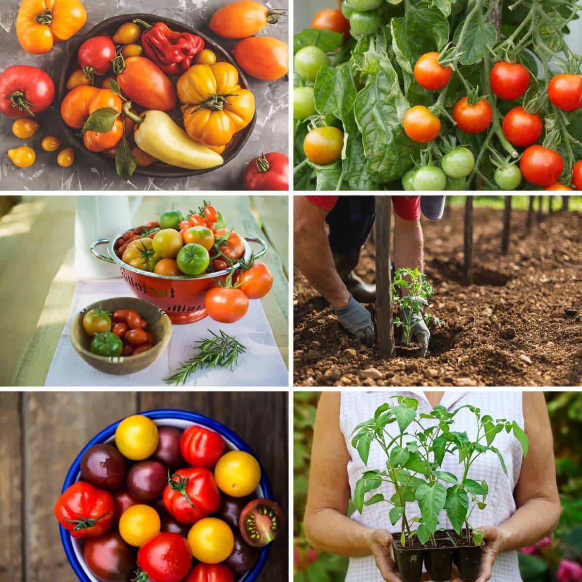Le seul guide pour cultiver des tomates dont vous aurez besoin