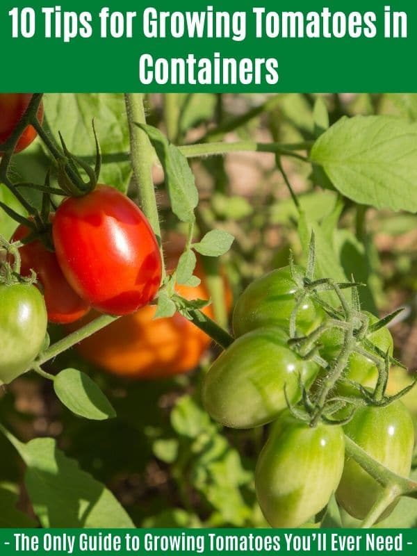 10 Tips for Growing Tomatoes in Containers:
