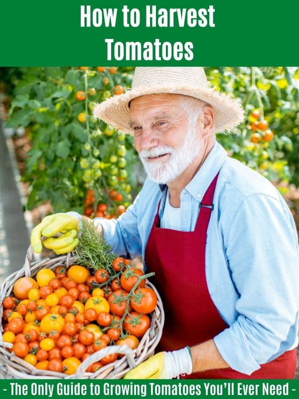 How to Harvest Tomatoes:
