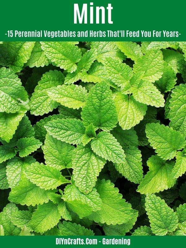 Mint perennial herb