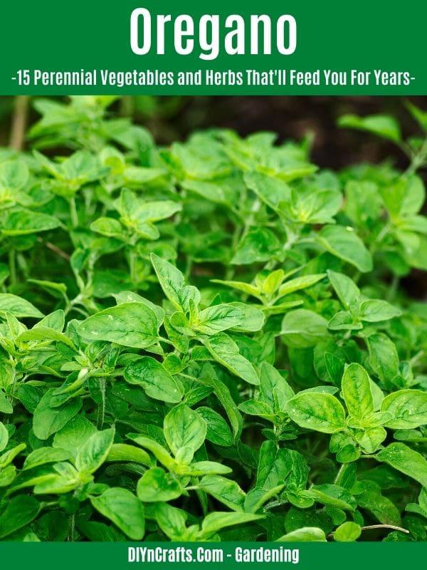 Oregano perennial herb