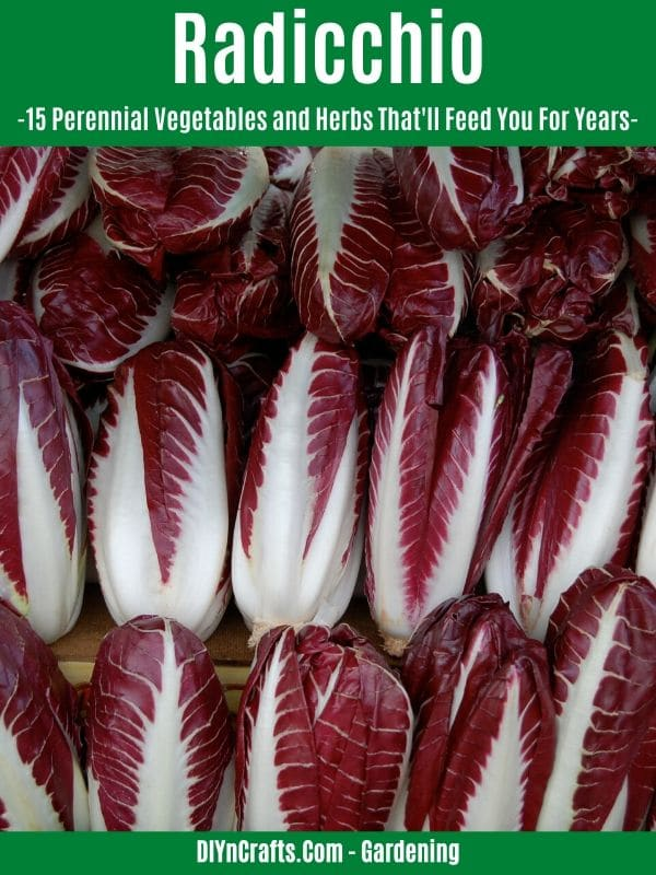Radicchio perennial vegetable