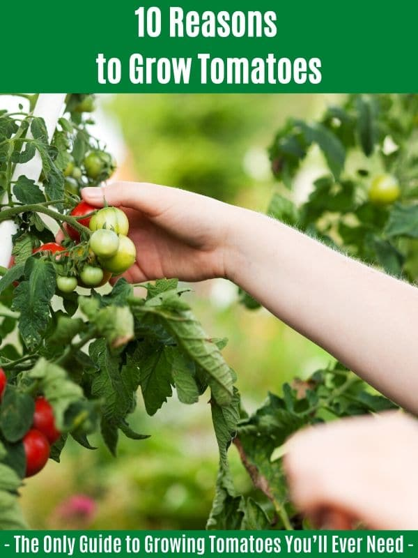 10 Reasons to Grow Tomatoes