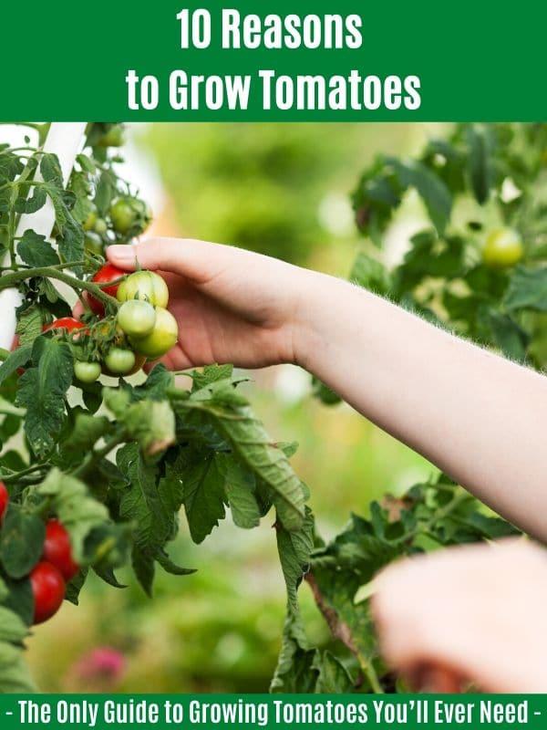 10 raisons de cultiver des tomates
