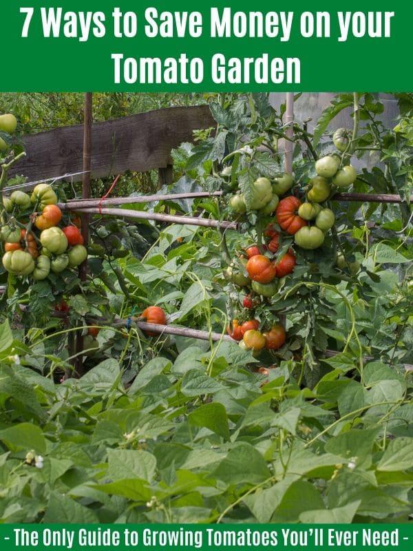 7 Ways to Save Money on your Tomato Garden: