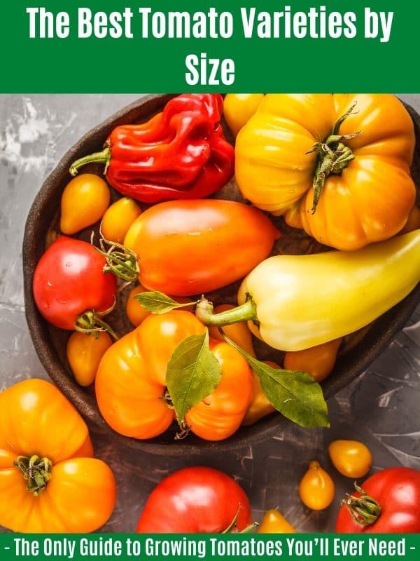 """Les meilleures variétés de tomates par taille: """"width ="""" 600 """"height ="""" 800 """"srcset ="""" https://cdn.diyncrafts.com/wp-content/uploads/2020/04/tomato-types-by-size.jpg 600w, https://cdn.diyncrafts.com/wp-content/uploads/2020/04/tomato-types-by-size-225x300.jpg 225w """"tailles ="""" (largeur max: 600px) 100vw, 600px"""