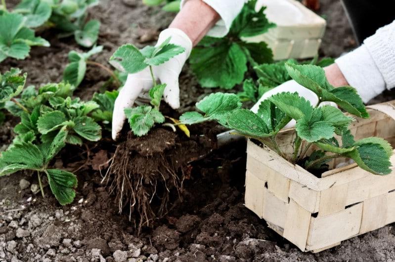 Planting a strawberry plant.