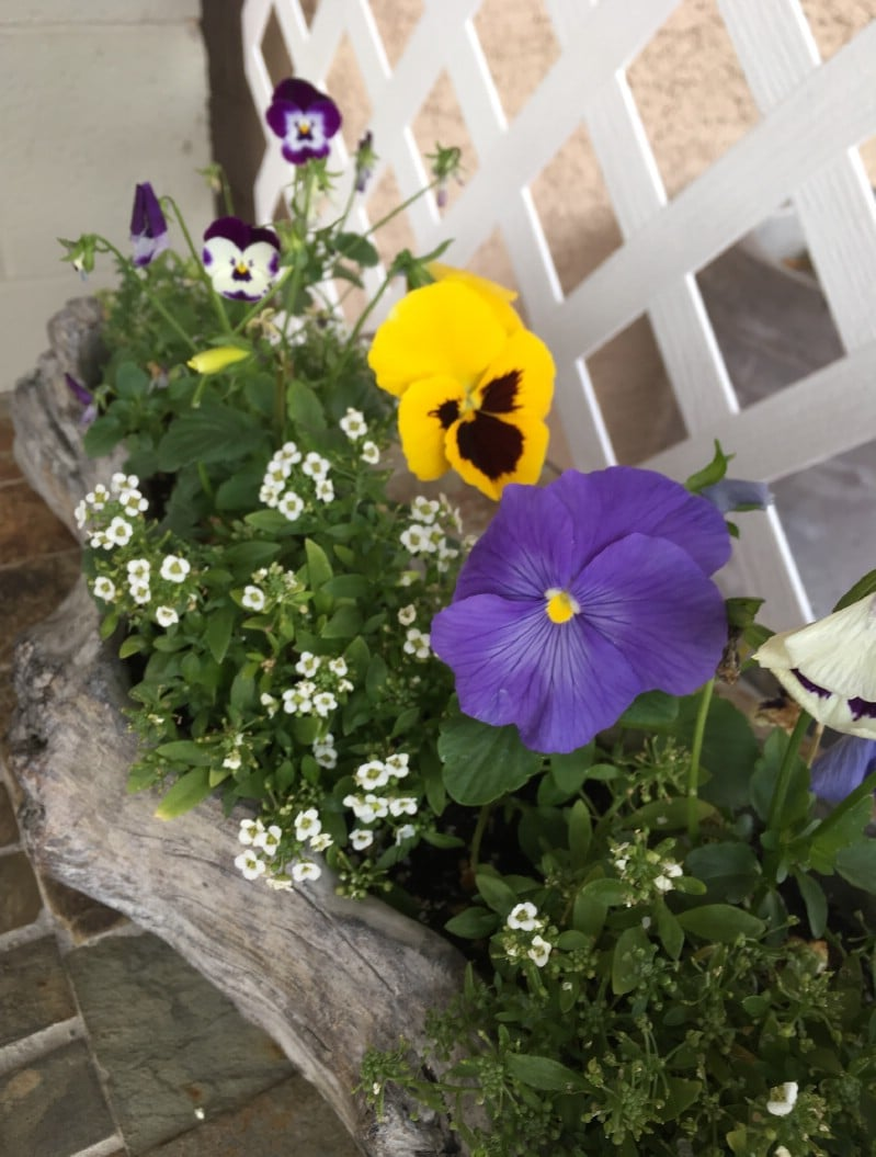 Pansies in a Log Planter