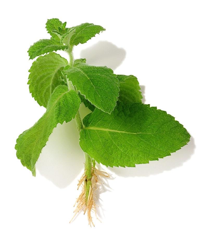 Mint grow in water