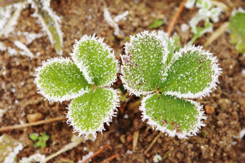 Frozen strawberry leaves in winter.