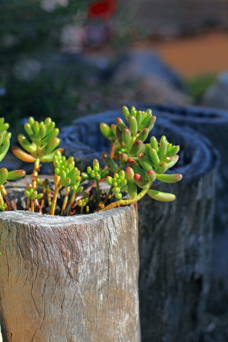 Succulents in Upright Log Planter