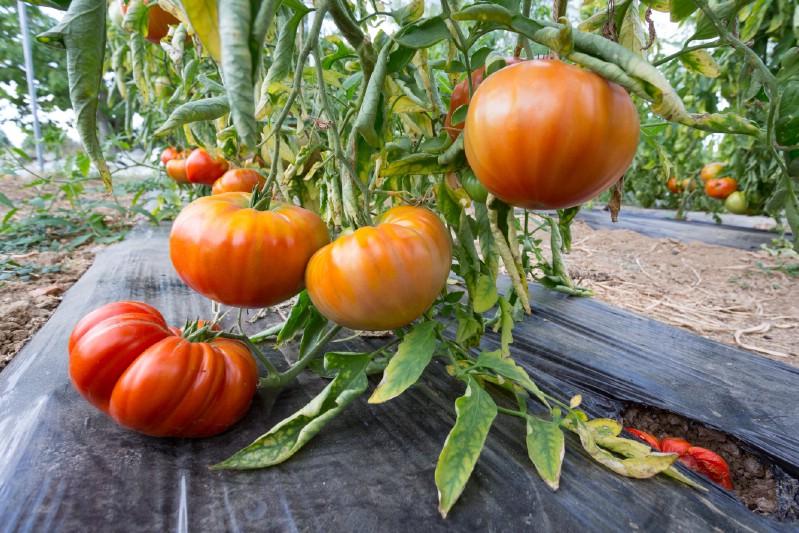 Plastic mulch used in a tomato garden.
