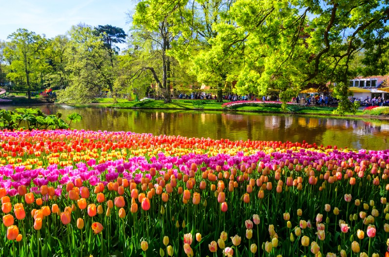 Tulip garden next to a lake