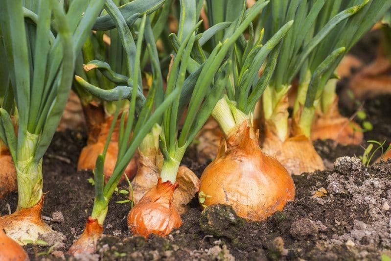 Onions Garden