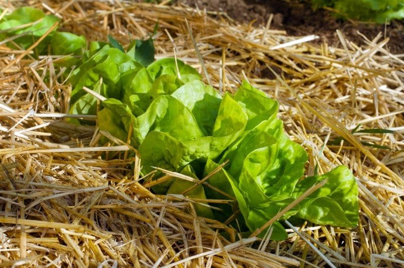 Salad growing in straw mulch.