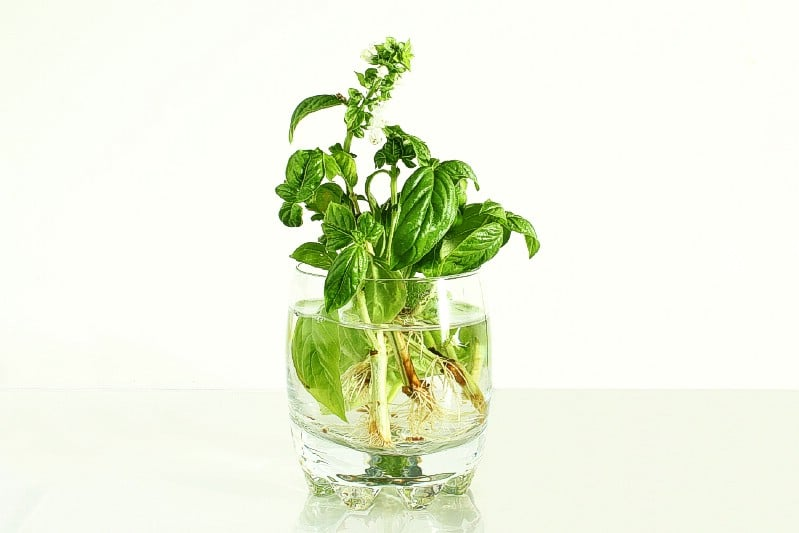 Basil grow in water