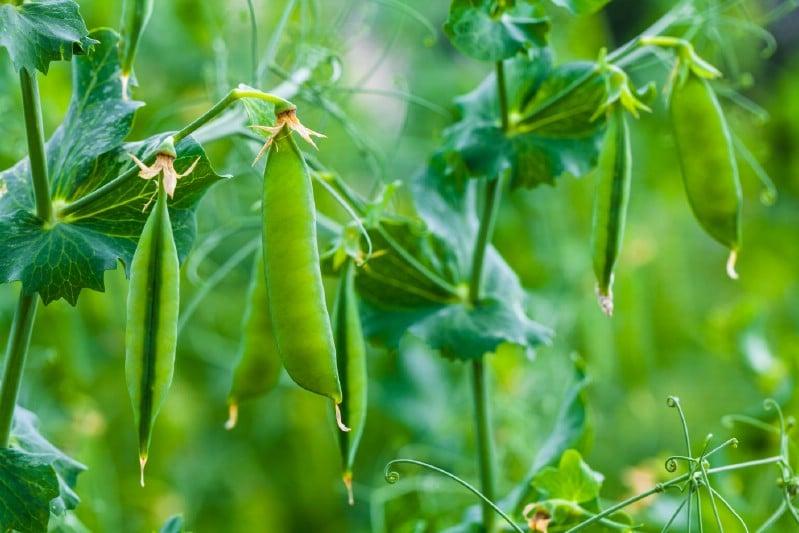 Peas Garden