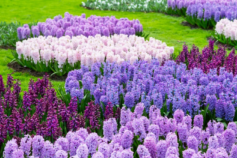 Purple Lilac Hyacinth Flowers